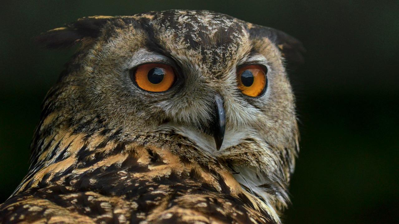Owl Bird Portrait Nocturnal  - michel78250 / Pixabay