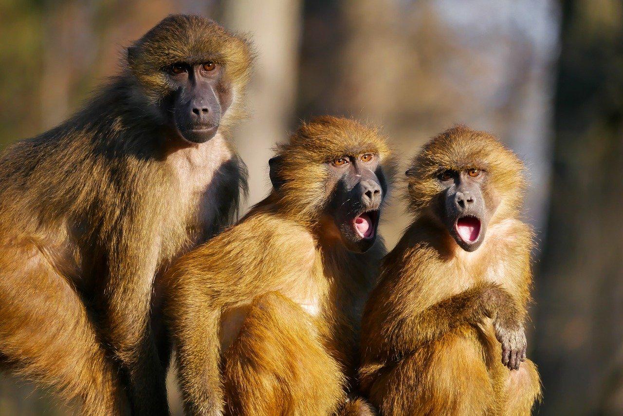 Animals Ape Baboon Three Monkeys  - blende12 / Pixabay