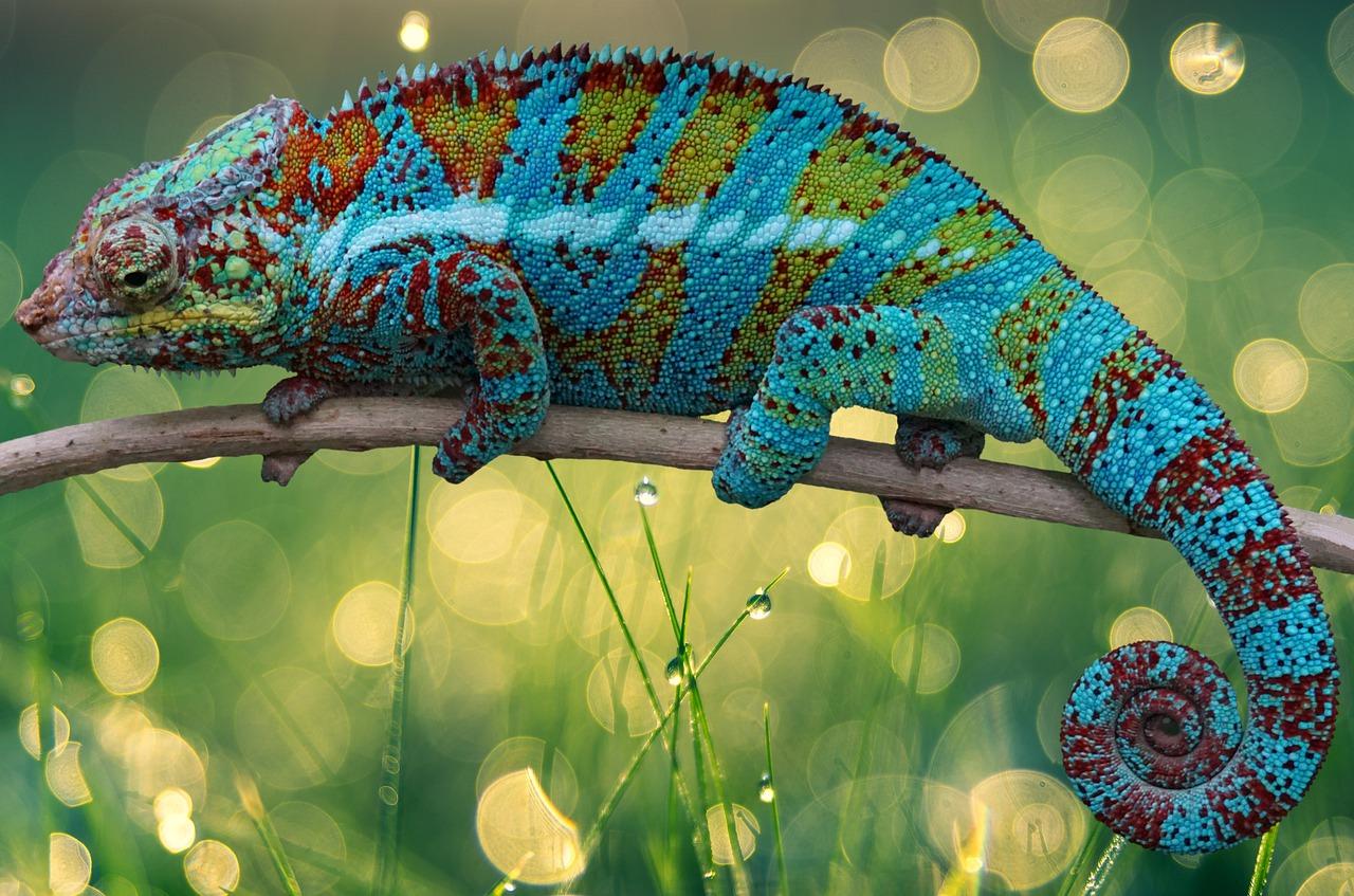 Chameleon Lizard Reptile Exotic  - flutie8211 / Pixabay